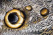 Forest giant owl butterfly (Caligo eurilochus)<br /> Mindo<br /> Cloud Forest<br /> West slope of Andes<br /> ECUADOR.  South America<br /> HABITAT &amp; RANGE: Mexico, through Central America, to the Amazon River basin in South America.