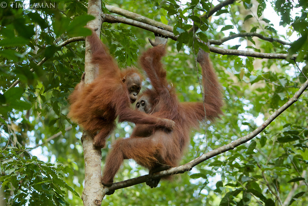 Bornean Orangutan <br />Wurmbii Sub-species<br />(Pongo pygmaeus wurmbii)<br /><br />Adult female Beth with juvenile son Benny (approx age 5)<br /><br />Gunung Palung Orangutan Project<br />Cabang Panti Research Station<br />Gunung Palung National Park<br />West Kalimantan Province<br />Island of Borneo<br />Indonesia