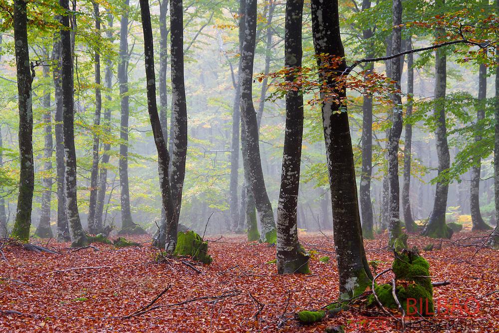 Beechwood in autumn.  Gorbeia Natural Park. Alava, Spain.