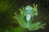 Glass Frogs