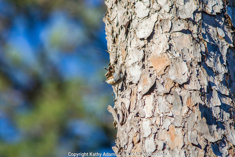 Brown-headed nuthatch, Sitta pusilla, Jones State Forest, Montgomery County, Texas, loblolly pine, Piney Woods.