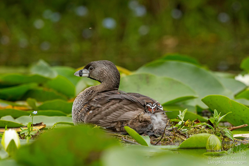 Two young Pied-Billed Grebes (Podilymbus podiceps) hide under their mother's wings in the wetlands of the Washington Park Arboretum, Seattle, Washington. Young grebes travel on their mother's backs until they are able to swim on their own.