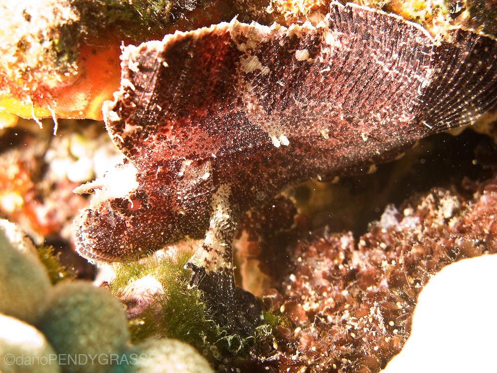 A leaf scorpionfish (Taenianotus triacanthus)near Maui, Hawaii, USA.