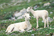 Dall sheep ( Ovis dalli )