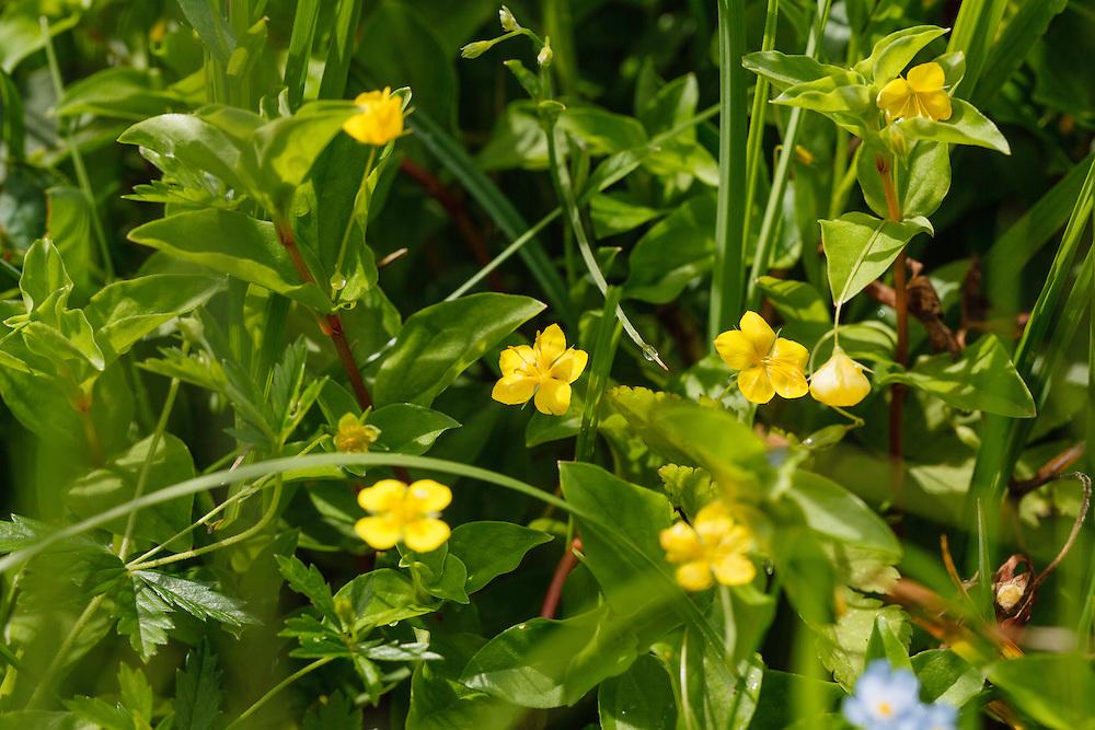 Boswederik, Lysimachia nemorum