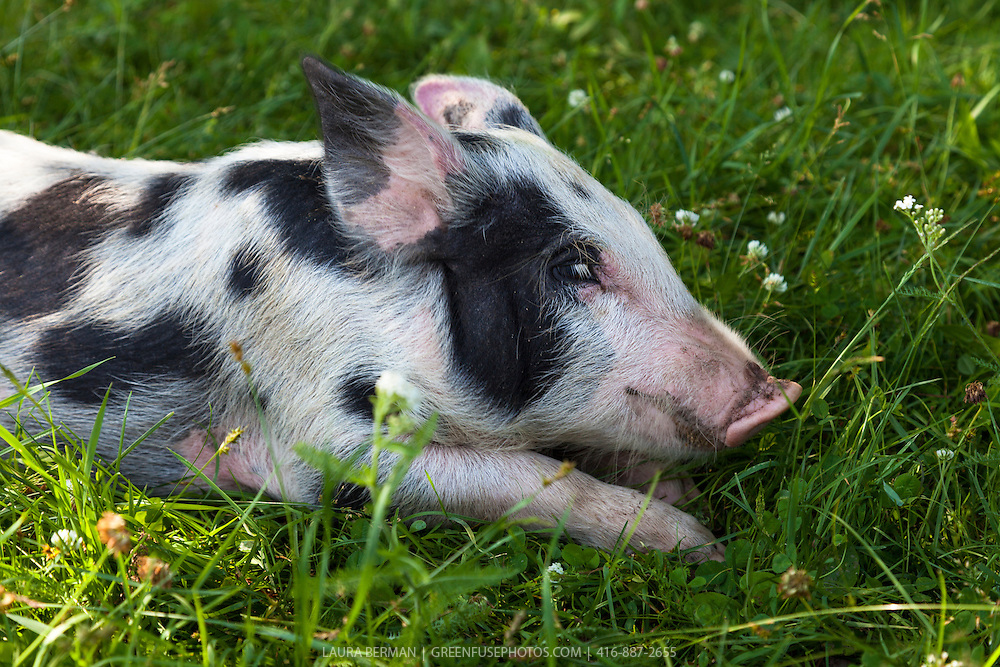 Tamworth and Berkshire heritage cross-breed piglet enjoying sun, grass and freedom in a farm field.  Pigs from this cross come out in a variety markings-- plain or spotted--and in colour combinations of black, white, and red.