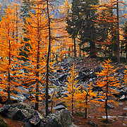 Alpine Larch in the Hawkins Lake basin at dusk. Northwest Peak Scenic Area in the Purcell Mountains, Montana