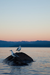 """Seagulls at Sunrise, Lake Tahoe 1"" - These seagulls were photographed from a kayak at sunrise on Lake Tahoe, near Speed Boat Beach."