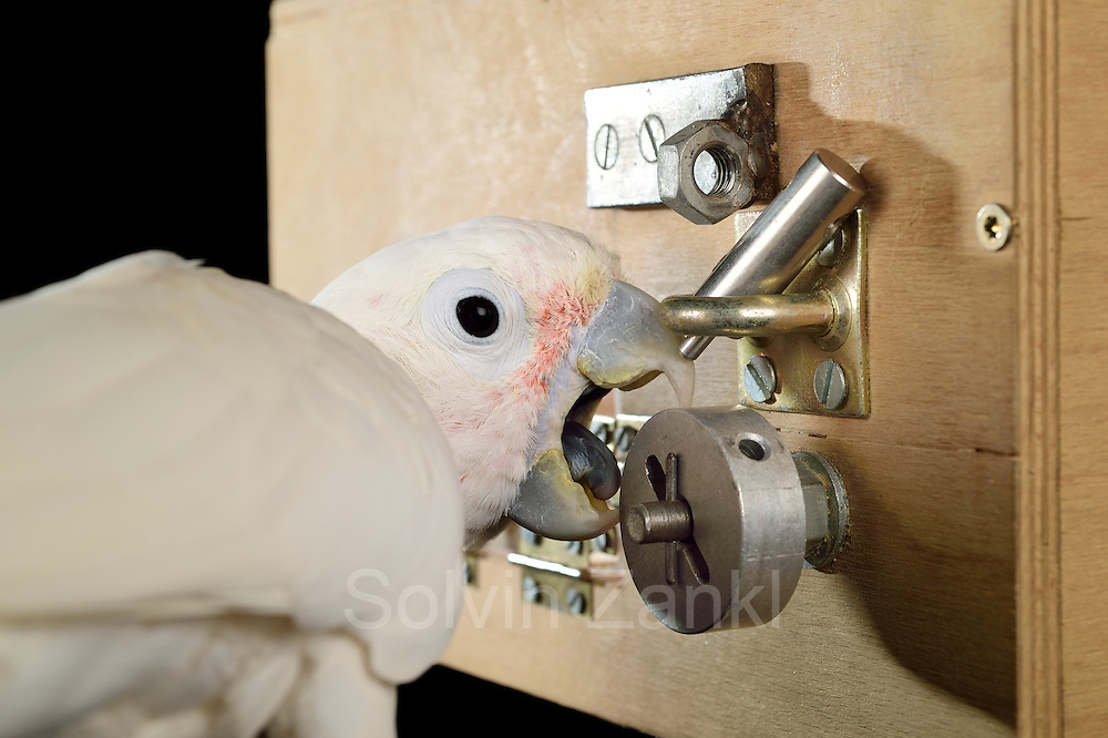 "[captive] Goffin's cockatoo (Cacatua goffiniana). In the ""Lockbox"" experiment, the cockatoo has to solve a sequential five-step problem to reach a treat (nut). Here, the cockatoo rotates a wheel. Results of this study were published as ""Explorative learning and functional inferences on a five-step means-means-end problem in Goffin's cockatoos (Cacatua goffini)"" in the journal Plos ONE. Goffin's cockatoos or Tanimbar Corellas are endemic to the Tanimbar archipelago in Indonesia. Research on their cognitive abilities is done in the Goffin Lab (Lower Austria) by Dr. Alice M. I. Auersperg. Sequence 7/8. 