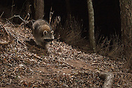 Northern Raccoon (Procyon lotor)<br /> TEXAS: Travis Co.<br /> Brackenridge Field Laboratory; Austin<br /> 22.Jan.2009<br /> J.C. Abbott