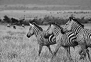 Zebras, Tsavo East National Park, Kenya