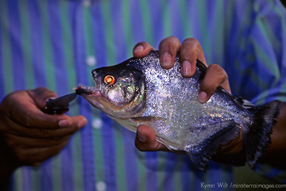 South America, Peru, Amazon River. A naturalist guide holding a piranha from the Amazon to reveal the fish's teeth.