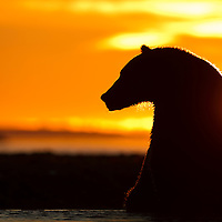 USA, Alaska, Katmai National Park, Coastal Brown Bear (Ursus arctos) sitting along salmon spawning stream at sunrise along Kukak Bay on late summer morning