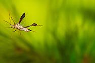 Leaf-footed Bug (Leptoglossus oppositus) flying<br /> United States: Alabama: Tuscaloosa Co.<br /> Tulip Tree Springs off Echola Rd.; Elrod<br /> 25-Jul-2016<br /> J.C. Abbott #2854