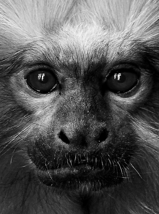 A dramatic black and white portrait of a (captive) Golden Lion Monkey, Taken in Tropical World, Leeds, UK