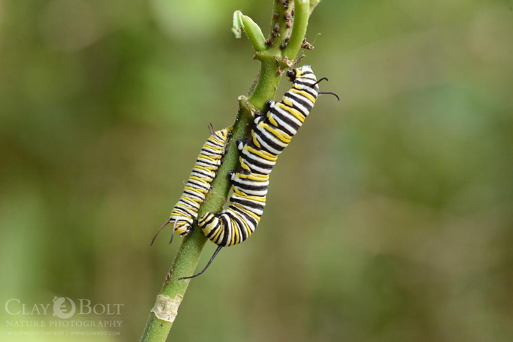 Monarch butterfly caterpillar (Danaus plexippus), Miami, Florida, USA