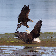 A juvenile bald eagle (Haliaeetus leucocephalus) attacks an adult along Hood Canal near Seabeck, Washington. Hundreds of bald eagles congregate in the area in the early summer to feast on migrating midshipman fish that get trapped in oyster beds during low tides. Bald eagles, however, largely get their food by stealing it from other birds -- including eagles.