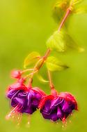 Double exposure of closeup of Fuschia in garden in Eagle River in Southcentral Alaska. Summer. Afternon.