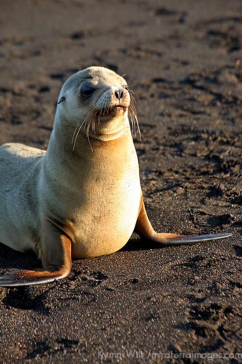 South America, Ecuador, Galapagos Islands, Santiago Island, James Island, Port Egas. A Sea Lion comes ashore to sun Santiago Island.