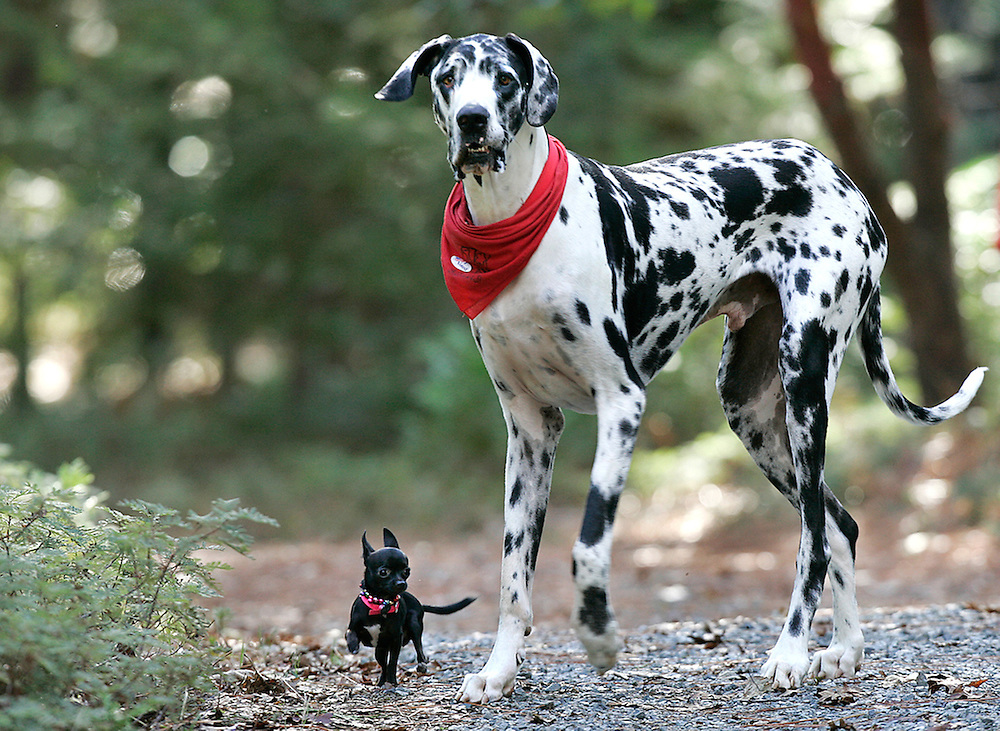"""Guinness World Records names Gibson, a Great Dane, as the world's tallest dog, from floor to shoulder 42.2"""".  He stands at 7'2"""". Gibson plays with his friend, Zoie a 7.5"""" Chihuahua."""
