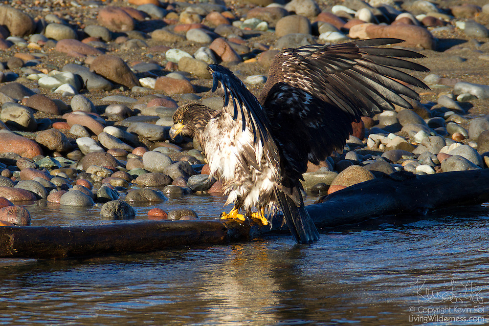 A juvenile bald eagle (Haliaeetus leucocephalus) lands on a log after taking a bath in the Squamish River near Brackendale, British Columbia, Canada.