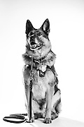 MWD Brit<br /> Army<br /> 8 years service<br /> Drug detection do(PNDD)<br /> <br /> Veterans Portrait Project<br /> Fayetteville, NC
