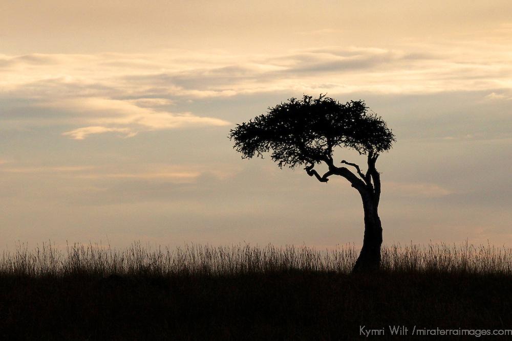 Africa, Kenya, Masai Mara. A lone Acacia Tree silhouetted on the Mara.
