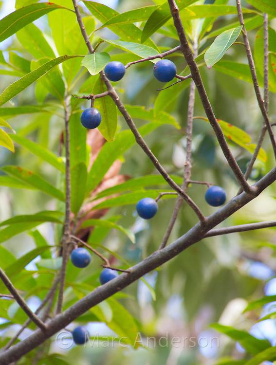 Elaeocarpus grandis fruits (Blue Quandong) in the Daintree rainforest, Queensland, Australia