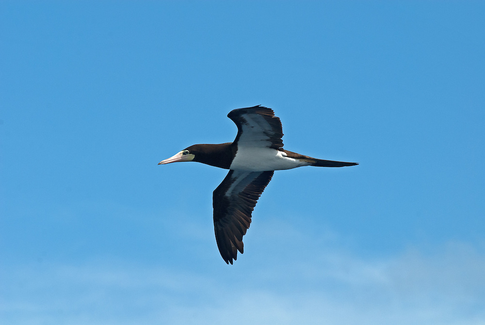 Brown booby, Sula leucogaster, in flight. Brown booby flying against a blue sky with white fluffy clouds. Undersidel view of brown booby in flight.  Brown booby in flight viewed from below.