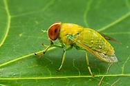 Horse Fly (Chlorotabanus crepuscularis)<br /> ALABAMA: Tuscaloosa Co.<br /> Tulip Tree Springs off Echola Rd.; Elrod<br /> 30-May-2016<br /> J.C. Abbott #2823 &amp; K.K. Abbott