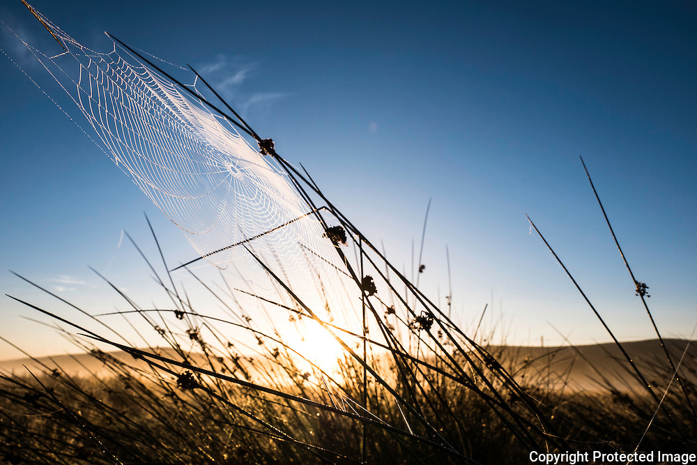 Pennymuir, Hownam, Jedburgh, Scottish Borders, UK. 17th September 2016. A cobweb interweaving rushes of grass is illuminated by the early morning sun rising behind the Cheviot Hills on the Anglo Scot border.