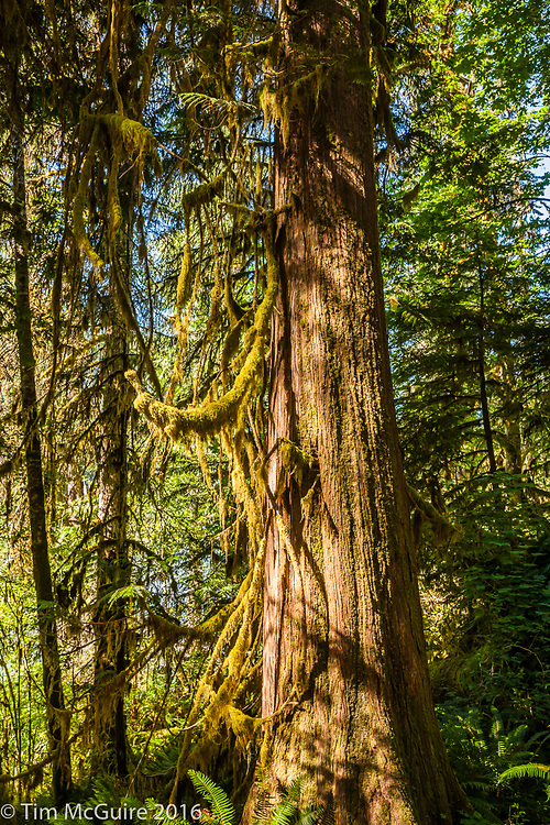 Hoh rain forest, Olympic National Park, Washington.