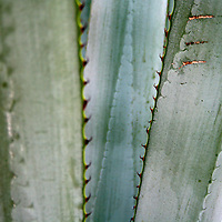 Agave, photographs taken in Cabo San Lucas, Baja California Sur, Mexico. Photoshoot for ESCAPES magazine, issue #7, July - November 2011, for the featured article on tequila.<br /> <br /> Agaves are succulent plants of a large botanical genus of the same name, belonging to the family Agavaceae. Chiefly Mexican, they occur also in the southern and western United States and in central and tropical South America. <br /> <br /> The most familiar species is Agave americana, a native of tropical America, the so-called Century Plant or American aloe (the maguey of Mexico). The number of years before flowering occurs depends on the vigour of the individual, the richness of the soil and the climate; during these years the plant is storing in its fleshy leaves the nourishment required for the effort of flowering. During the development of the inflorescence there is a rush of sap to the base of the young flowerstalk. In the case of A. americana and other species this is used by the Mexicans to make their national beverage, pulque; the flower shoot is cut out and the sap collected and subsequently fermented. By distillation a spirit called mezcal is prepared. The leaves of several species yield fibre, as for instance, Agave rigida var. sisalana, sisal hemp, Agave decipiens, False Sisal Hemp; Agave americana is the source of pita fibre, and is used as a fibre plant in Mexico, the West Indies and southern Europe. The flowering stem of the last named, dried and cut in slices, forms natural razor strops, and the expressed juice of the leaves will lather in water like soap. In India the plant is extensively used for hedges along railroads.<br /> <br /> Agave nectar has been used as an alternative to sugar in cooking. (agave definition www.wordiq.com)