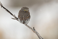 The northern pygmy-owl resides in the high country during spring and summer, moving to lower elevation forests during winter to nest. The pygmy can often be spotted perched on snags or treetops, scanning the area for prey.  Although quite fierce, the pygmy's diminutive stature makes him difficult to locate in the thick woods of the Shoshone National Forest, but when you see one, it's always a treat.