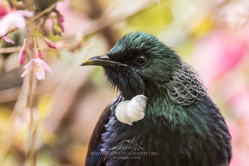 Tui portrait with cherry blossoms in the background.