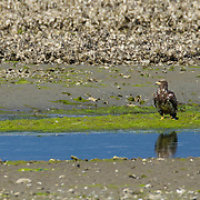 A juvenile bald eagle (Haliaeetus leucocephalus) rests along a small creek that leads into the Hood Canal near Seabeck, Washington. Hundreds of bald eagles congregate in the area in the early summer to feed on migrating midshipman fish that get trapped in oyster beds during low tide.