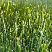 Sunlit grass in green lawn