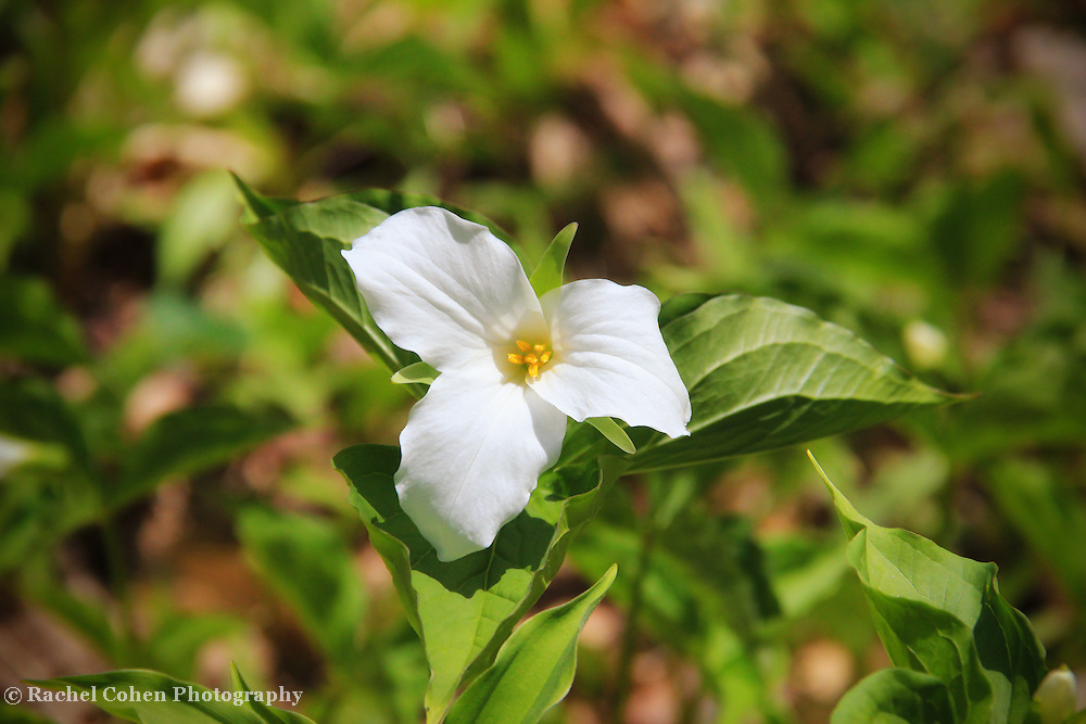 &quot;Trillium Grandiflorium&quot;<br />