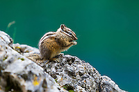 A very curious chipmunk stopped to check us out while hiking near the Grassi Lakes in Canmore. The green water of the lake behind Chippy made for a perfect backdrop!<br /> <br /> &copy;2011, Sean Phillips<br /> http://www.RiverwoodPhotography.com