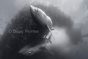 copper sharks or bronze whalers, Carcharhinus brachyurus<br /> feeding in baitball of sardines or pilchards, Sardinops sagax, <br /> along with bonito, Euthynnus affinis, releasing a cloud of fish <br /> scales and blood, the Wild Coast, Transkei, South Africa (Indian Ocean)