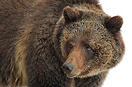 The beautiful grizzly sow known as Blaze, is a frequent visitor to the Yellowstone Lake area. At more than twenty years of age, Blaze has raised many cubs near the roadside and is thought of as the grizzly matriarch of this region.