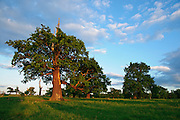 The classic english parkland of Donington Park contains many hundreds of ancient veteran Oak trees