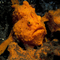 Painted Frogfish, Antennarius Pictus,.Lembeh Straits, Indonesia.