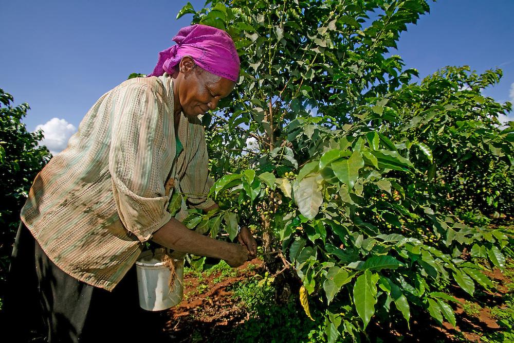 Africa, Kenya, Ruira, (MR) Woman picking Arabica coffee beans during harvest at Socfinaf's Oakland Estates plantation