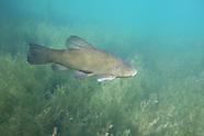 Tench, Underwater