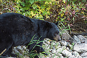 Bear Hunting Stock Photos