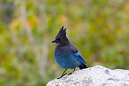 A Steller's Jay (Perisoreus canadensis) begs for food at Inspiration Point in Mount Rainier National Park, Washington State, USA