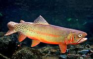 Rio Grande Cutthroat Trout<br /> <br /> Patrick Clayton/Engbretson Underwater Photography