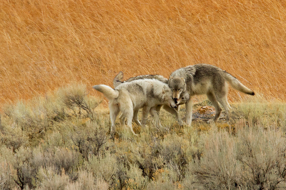 After traveling away from her family, the white alpha female wolf of the Canyon Pack is greeted by two of her pups upon her return to the pack's rendezvous point.