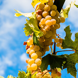 Garden vineyard grapes, Taormina, Sicily, Italy